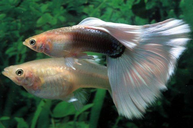 Fancy guppies caring for guppy fish aquariums for How long is a guppy fish pregnant