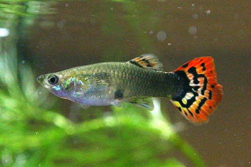 Guppy fish are extremely easy Guppy Fish Eggs In Tank